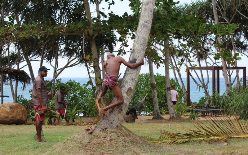 Sri Lanka Coconut Picking